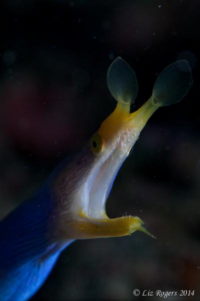Blue/yellow ribbon eel