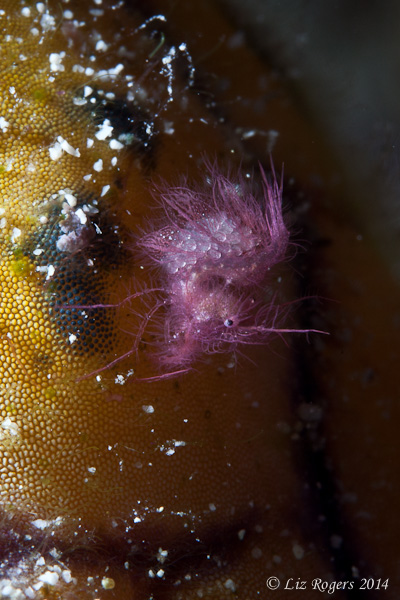 Purple hairy shrimp