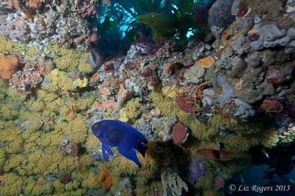 February: blue devil on Lonsdale Wall, Victoria