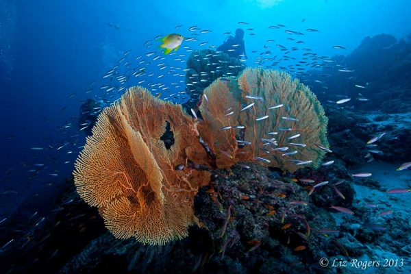 April: gorgonians and fish in the Similan Islands, Thailand