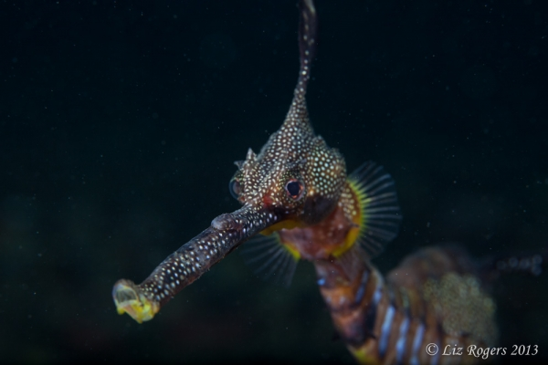 November: Weedy seadragon stares down the lens under Flinders Pier