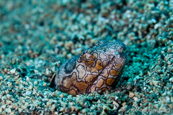 August: A napolean snake eel sleeps in the sand at Lovina Beach, Bali