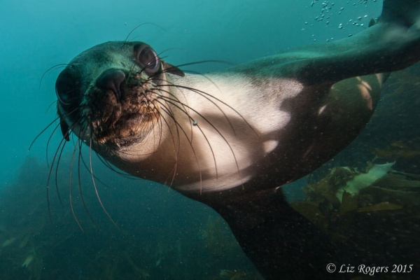 Australian sea lion at Wilson's Prom