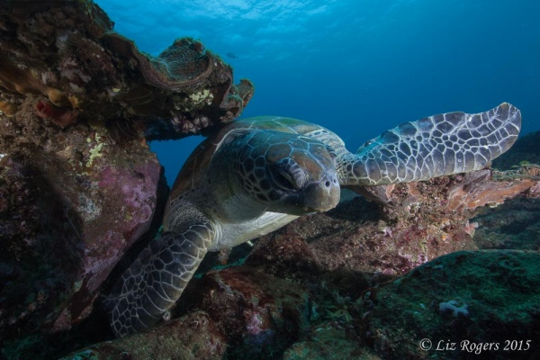 Green turtle at Julian Rocks