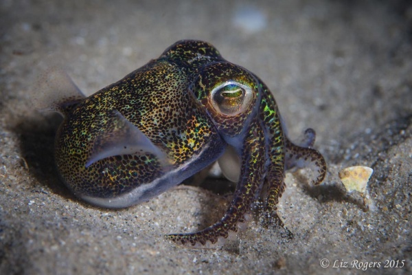 Bobtail squid under Rye Pier